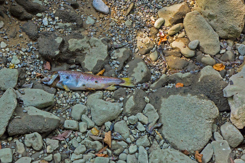 Erneut Fischsterben auf der Queich.Umweltfrevel in der Queich bei Albersweiler.Kripo ermittelt