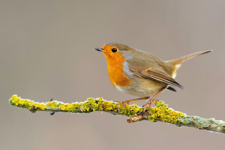 Gartenvögel gehen in die zweite Runde.Zurückhaltung beim Heckenschnitt verhilft Vögeln zu zweiter Brut