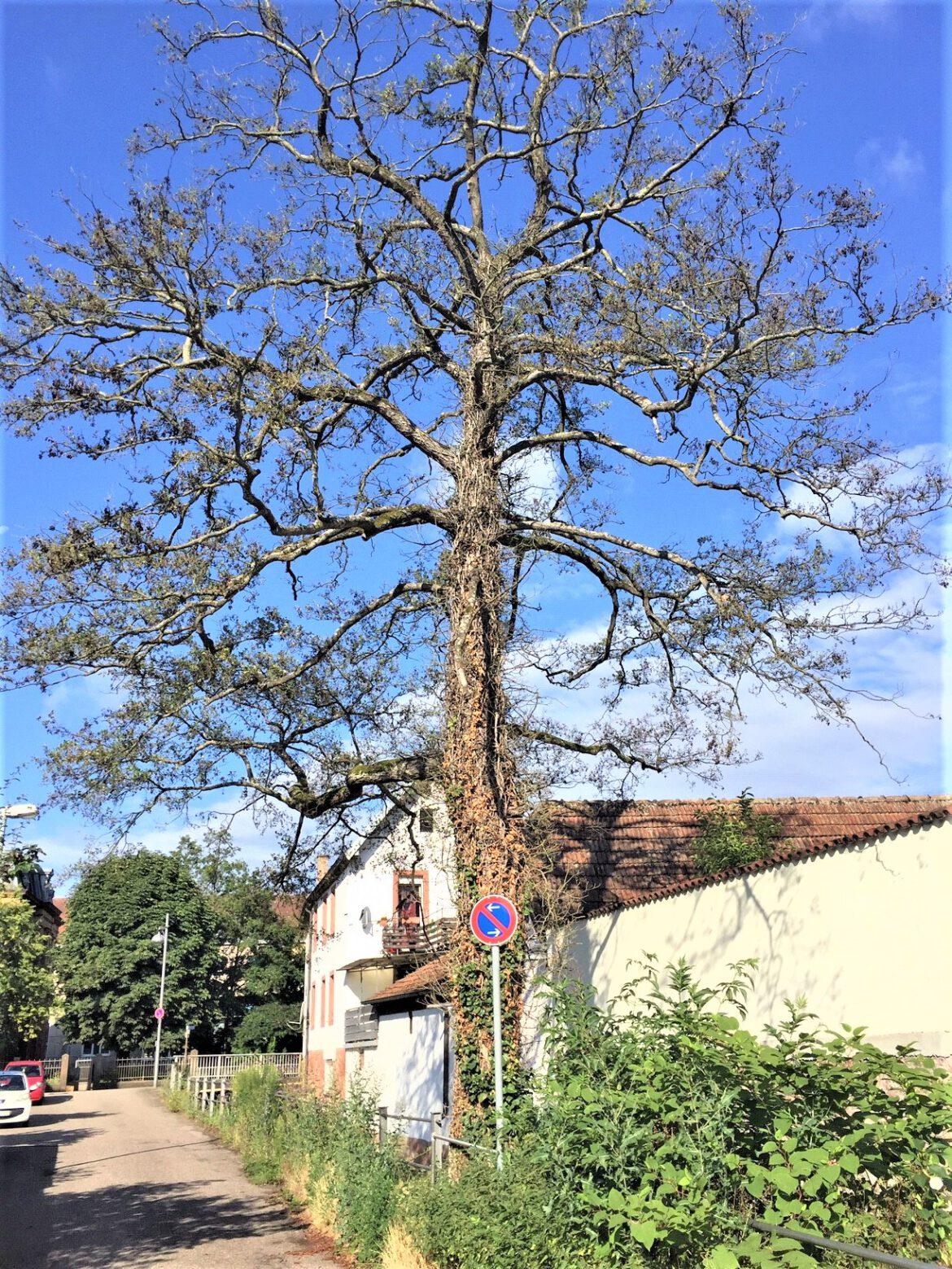 Abgestorbener Baum muss demnächst gefällt werden